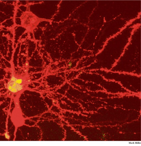 Image of Neuron