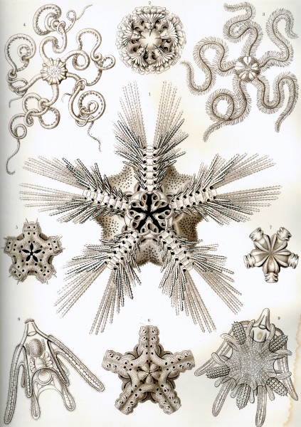 Ophiodea - Print by Ernst Haeckel, Art Forms of Nature, 1904