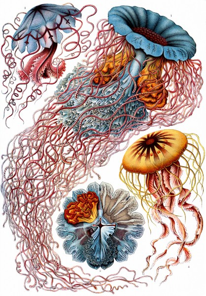 Discomedusae - Print by Ernst Haeckel, Art Forms of Nature, 1904