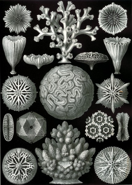 Hexacoralla - Print by Ernst Haeckel, Art Forms of Nature, 1904