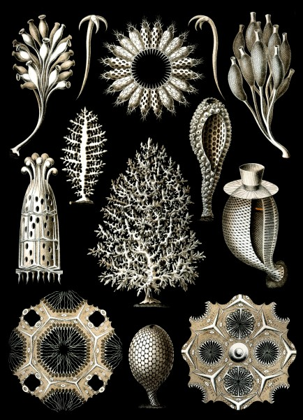 Calcispongiae - Print by Ernst Haeckel, Art Forms of Nature, 1904