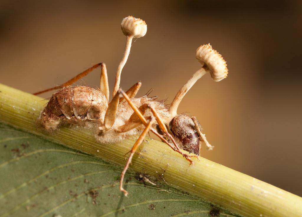 ANT - ZOMBIE FUNGUS